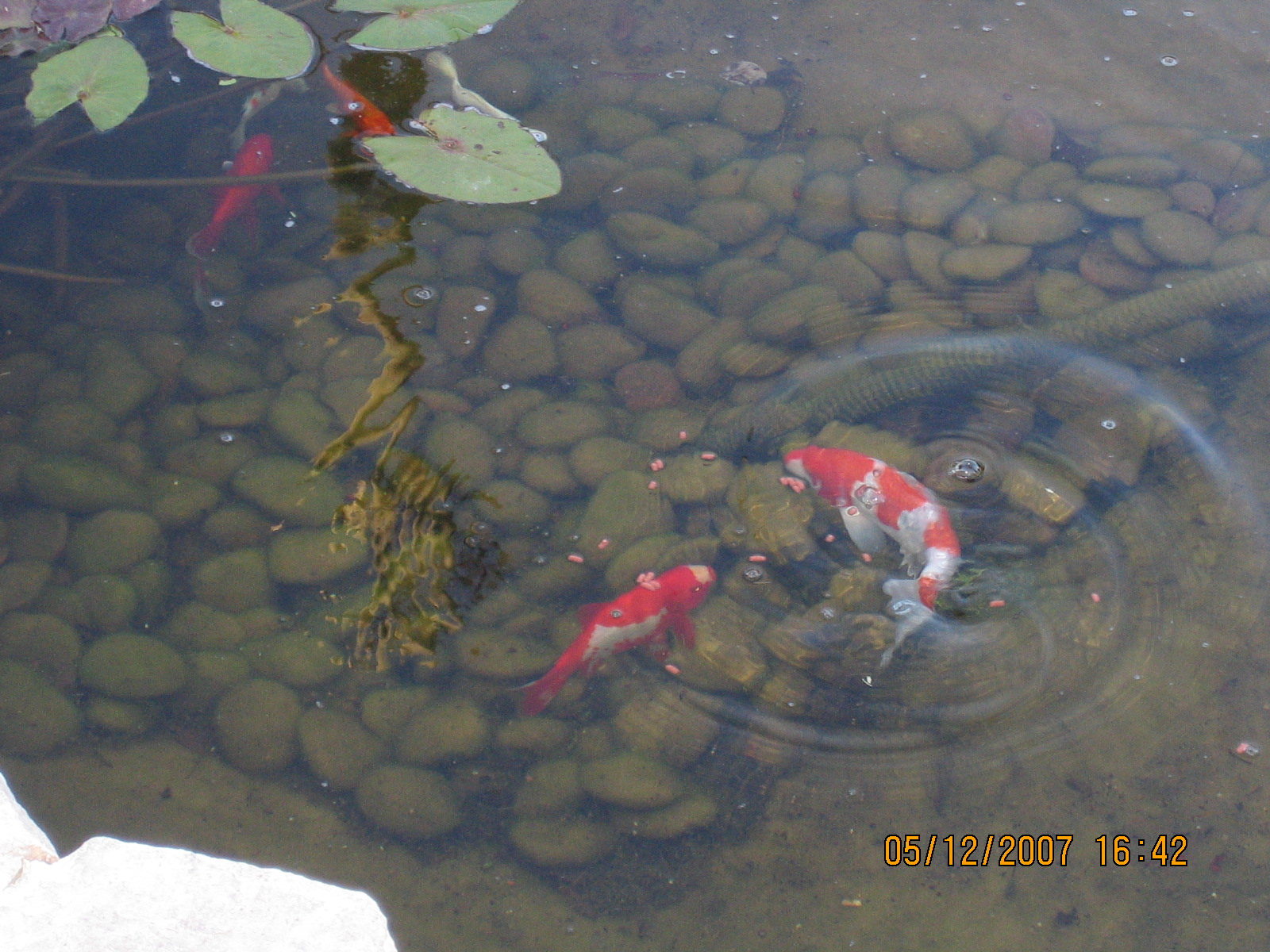 My 600g koi pond i know what i did this past summer for Pond fish stocking calculator
