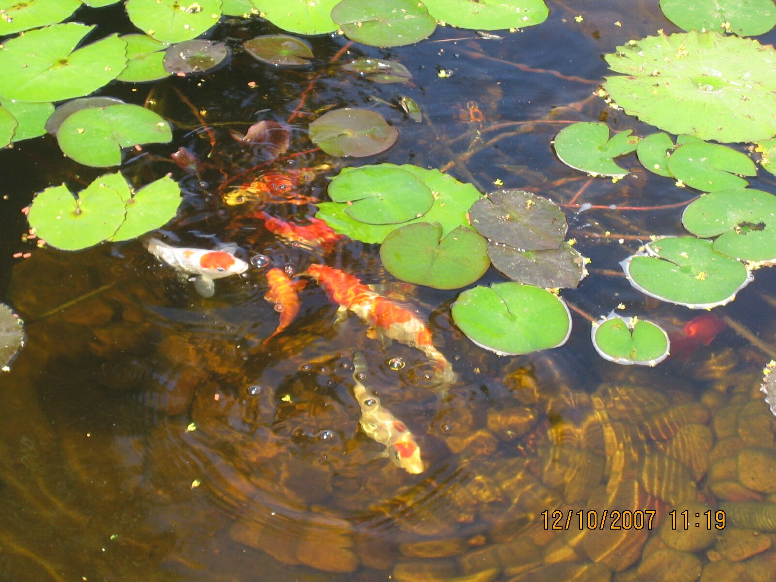 My 600g koi pond i know what i did this past summer for Koi pond algae