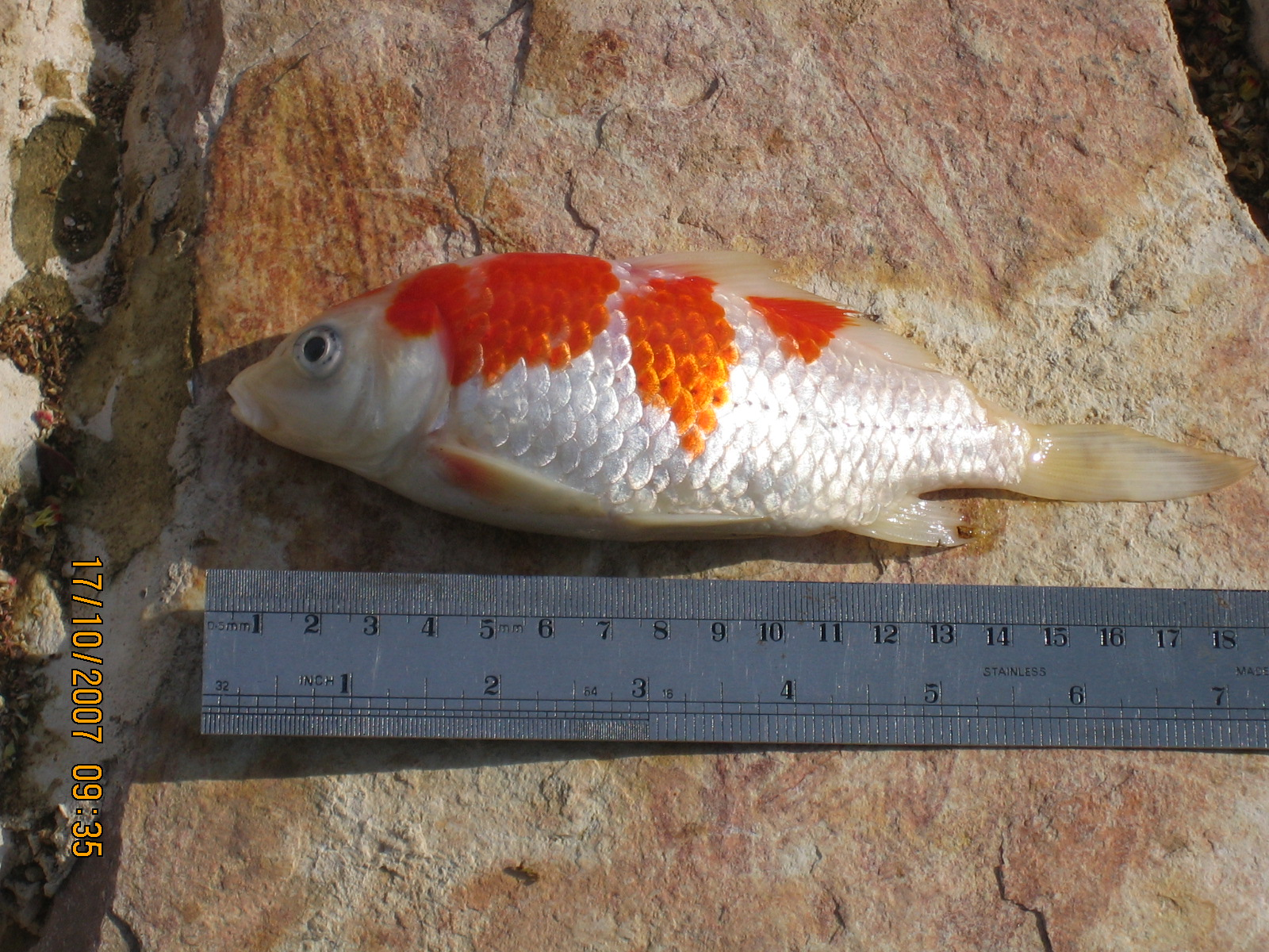 Fish Dying In Backyard Pond : My 600G Koi pond I know what I did this past summer
